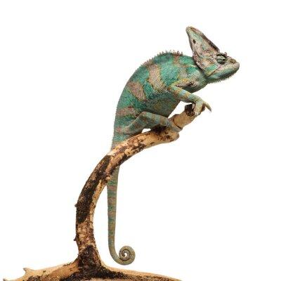 Naklejka Zielonkawo brązowy kameleona na oddział