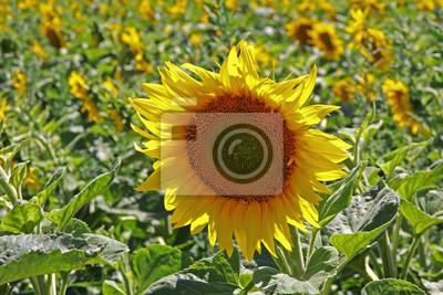 Żółte słoneczniki uprawiane dla oleju