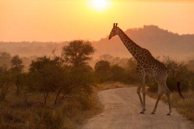 Naklejka Żyrafa w Parku Narodowym Krugera Sunrise