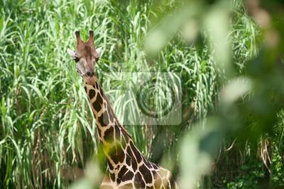 Żyrafa w zielone zarośla