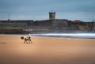 A dog playing at the Carcavelos Beach in a winter morning, in Portugal.