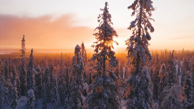 Obraz Aerial view from drone of snowy pines of endless coniferous forest trees in Lapland National park, bird's eye scenery  view of natural landmark in Riisitunturi on winter season at sunset golden light