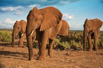 Obraz African matriarchat słoń na tle błękitnego nieba