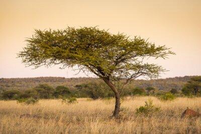 Obraz Akacji Afryki