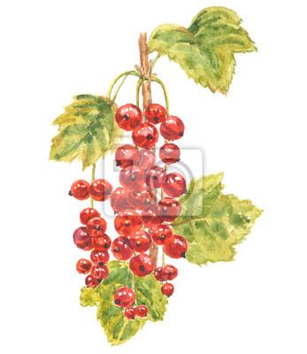 Akwarela - czerwona porzeczka. Czerwone jagody z zielonymi liśćmi. Ręcznie malowany ilustracja odizolowywająca na białym tle.