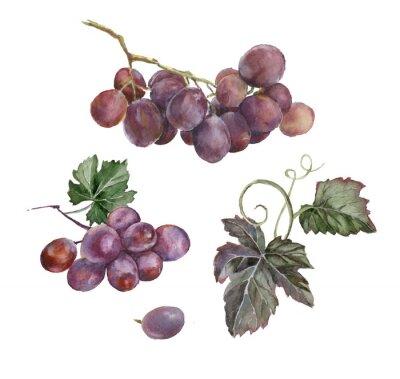 akwarela kilka czerwonych winogron