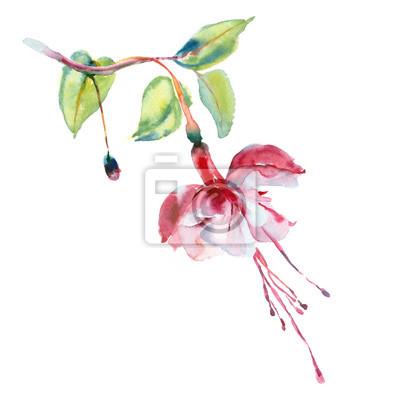 Akwarela kwiat. Red fuksja.
