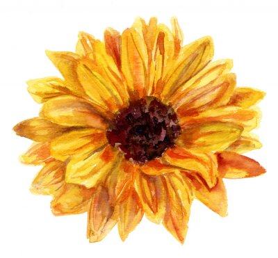 Obraz Akwarela rysunek słonecznika na białym tle, styl vintage