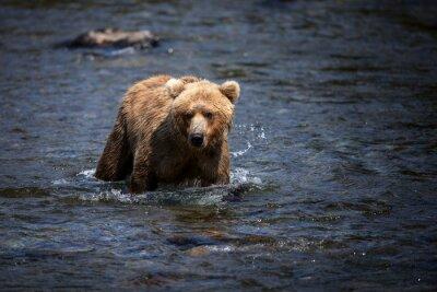 Obraz Alaskan brunatny brnie przez rzekę Brooks w poszukiwaniu łososi.