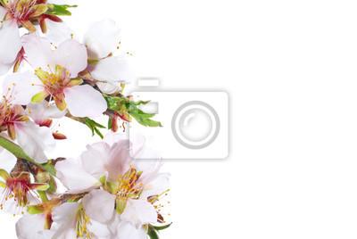 Almond białe kwiaty