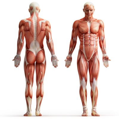 Obraz anatomia, mięśnie