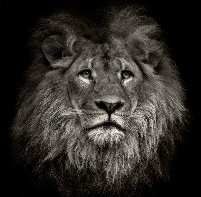 Obraz arrogant lion