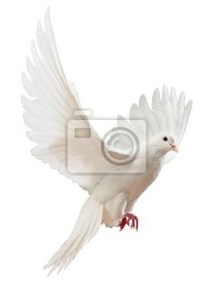 Atna latania White Dove odizolowane
