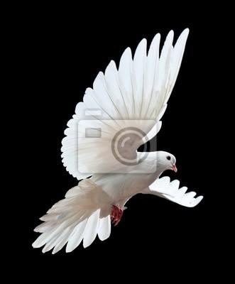 Atna latania White Dove odizolowane naczarno
