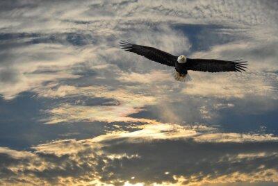 Obraz Bald Eagle latania na Alasce