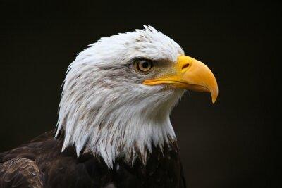 Obraz Bald Eagle Profile