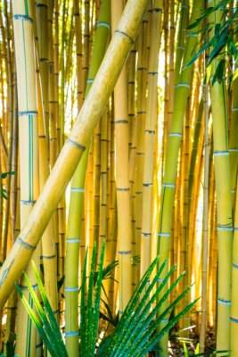 Obraz Bamboo forest. Natural background. bamboo plant