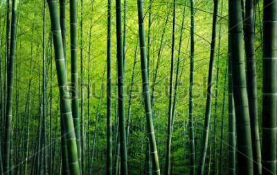Obraz Bambusowy czytaj drzew natury pojęcie