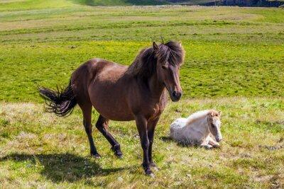Beautifu Icelandic horses graze