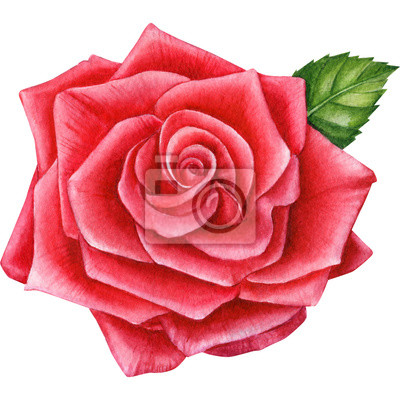 beautiful rose on an isolated white background, watercolor painting, hand drawing, greeting card