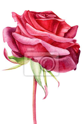 beautiful scarlet rose on an isolated white background, watercolor painting, hand drawing, greeting card