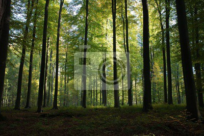 Obraz Beautiful scenery of high green trees in the forest with the sun rays during daytime in Brussels