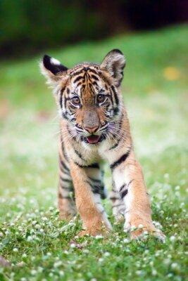 Obraz Bengal Tiger Baby idzie przez łąkę.