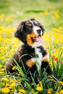Obraz Berneński pies lub Berner Sennenhund Puppy siedzi w zielone