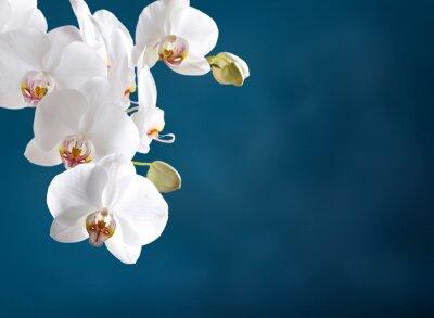 Obraz Biała orchidea