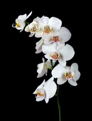 Obraz Biała Orchidea na czarnym tle