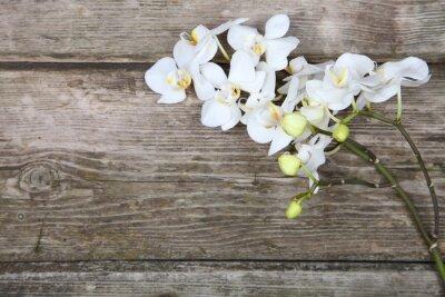 Obraz Biała orchidea (Phalaenopsis)