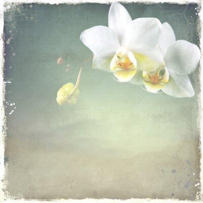 Obraz Biała orchidea Phalenopsis na tle archiwalne.