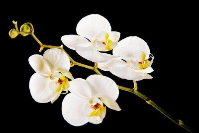 Obraz Biała orchidea z żółtym środkiem