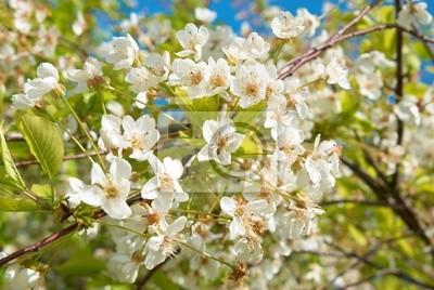 Białe kwiaty wiśni