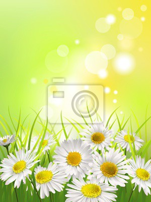 Obraz Białe stokrotki na łące. Wiosną lub latem w tle.