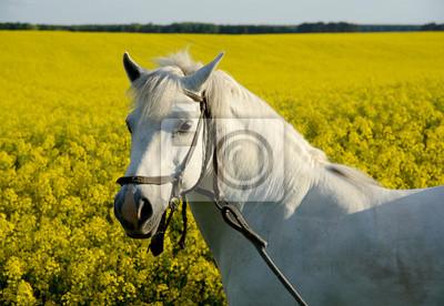 biały koń i żółte pola