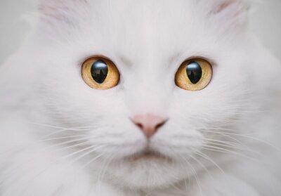 Obraz biały kot