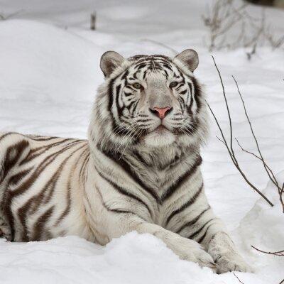 Obraz Biały Tygrys bengalski, uspokój leżącego na świeżym śniegu. Najpiękniejsza zwierząt i bardzo niebezpieczne zwierzę na świecie. To ciężka raptor jest perłą przyrody. twarz portret Zwierząt.