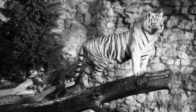 Obraz Biały tygrys stoi na dziennik nad szczeliną (w czerni i bieli, vintage style)