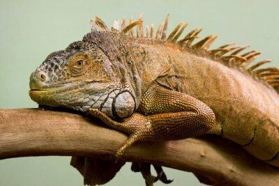 Obraz Big jaszczurka śpi na gałęzi zbliżenie, odizolowanych tle