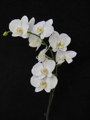 Obraz bladych białych orchidei z bliska na czarnym tle