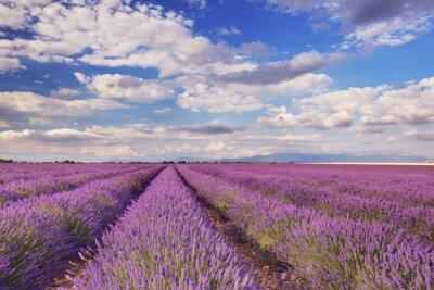 Obraz Blooming pola lawendy w Prowansji, w południowej Francji