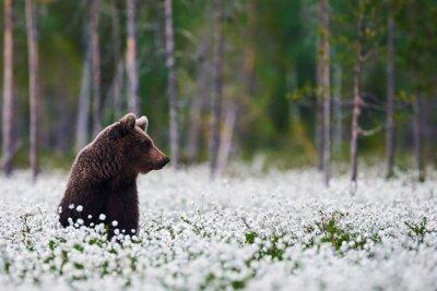 Obraz Brown bear between cotton grass