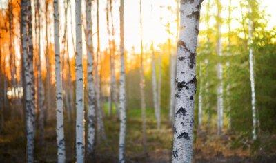 Obraz Brzoza drzewo o zachodzie słońca