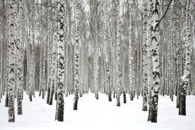 Obraz Brzozowy las zimowy
