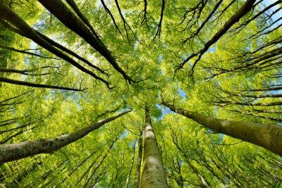Obraz Bukowe drzewa leśne wczesną wiosną, od dołu świeże zielone liście