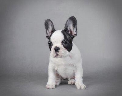Obraz Buldog francuski puppy