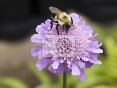 Bumble Bee na Pincushion (Driakiew) Kwiat