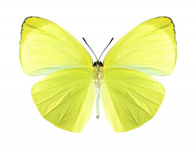 Obraz Butterfly Gandaca harina (mężczyzna) (od spodu)
