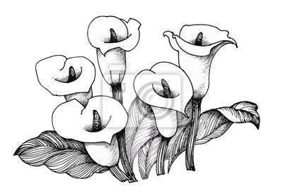 Calla Lilly kwiatowy, czarnym i białym tle ilustracji